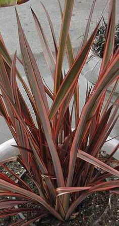 104 best phormium new zealand flax images on pinterest new zealand phormium tenax red dark green new zealand flax have listed it thecheapjerseys Gallery