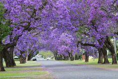 Beautiful purple Jacaranda trees in Grafton, NSW Australia. Grafton has a Jacaranda Festival in Spring. Fukuoka, Beautiful Streets, Beautiful Places, Beautiful Pictures, Stunningly Beautiful, Valencia, Grafton Nsw, Tree Tunnel, Shade Flowers