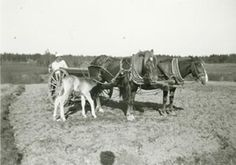Time for lunch ... Finnish horse foal ... Hevosvetoinen kylvökone ... Horse-drawn seed drill ... Finland