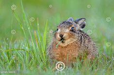 Králík evropský pochutnávající si na jarní trávě.  European Hare (Lepus europaeus) leveret feeding on grass. Country Life Magazine, Seamus Heaney, Flirting, Grass, Celebrity, Easter, Animals, Outdoor, Instagram
