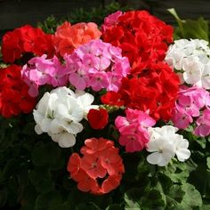 Geranium (Pelargonium Zonale F2 Mix) - Get all of our most popular Geranium colors in one beautiful mix of Geranium seeds. This flower seed mix will produce big Geranium flowers reaching 4 - 5 inches
