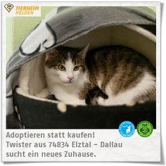 """Twister ist der Bruder von Trouble und wartet auch schon länger im Tierheim Dallau.   http://www.tierheimhelden.de/katze/tierheim-dallau/ekh/twister/8307-1/  Er und seine Brüder sind zwar noch recht scheu, ihnen sind Berührungen aber nicht unangenehm. Wie viele andere scheue Katzen werden sie sicher in einer ruhigeren Umgebung bei """"ihrer"""" Familie auftauen."""