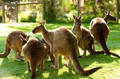 Kangaroos enjoying the sun at Healesville Sanctuary