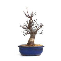 Acheter ce Superbe Bonsaï Acer Palmatum Arakawa 35 cm importé du Japon chez votre Spécialiste du Bonsai en Ligne, Sankaly Bonsaï