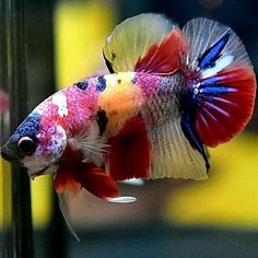 how to take care of betta fish - Expert Aquariums Tropical Fish Aquarium, Tropical Fish Tanks, Aquarium Fish Tank, Rare Fish, Exotic Fish, Beautiful Sea Creatures, Animals Beautiful, Rainbow Fish, Rainbow Candy
