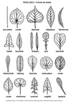 leaf shapes for drawing or painting leaves - great for fall art projects Drawing Lessons, Art Lessons, Drawing Guide, Documents D'art, Ink Tatoo, Blatt Tattoos, Art Handouts, Art Worksheets, Motif Floral