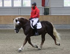 Noriker stallion Brillant Nero XVI
