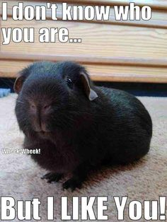 """I don't know who you are...but I like you!"" Darling dark guinea pig!"
