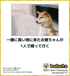 Funny Animals, Cute Animals, Can't Stop Laughing, Funny Clips, Illustrations And Posters, Shiba Inu, Make You Smile, At Least, Haha