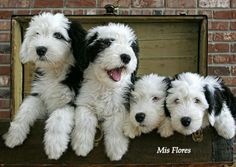 Old English Sheepdog Puppies Cute Puppies, Cute Dogs, Dogs And Puppies, Doggies, Bulldog Puppies, Old English Sheepdog Puppy, Baby Animals, Cute Animals, Mundo Animal