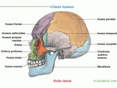 Visión lateral del cráneo