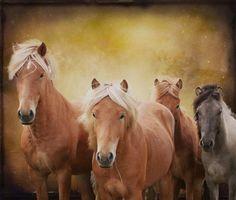 Icelandic stallions by Anna Guðmundsdóttir on 500px.