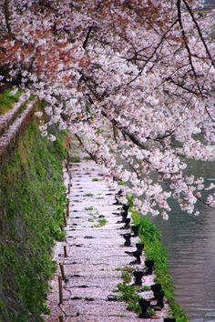 京都の桜の名所の綺麗な散り桜と満開の桜