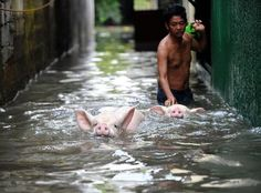 A man evacuates pigs through a flooded street in Manila.