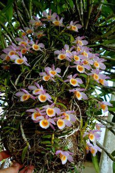 Dendrobium loddigesii Botanical Flowers, Flowers Nature, Exotic Flowers, Amazing Flowers, Love Flowers, Orchids Garden, Orchid Plants, Garden Plants, Blooming Orchid