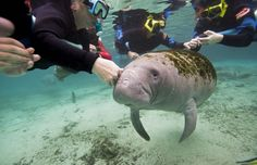 Monarch butterflies and manatees, oh my! These two animals are on a big rebound. - The Washington Post