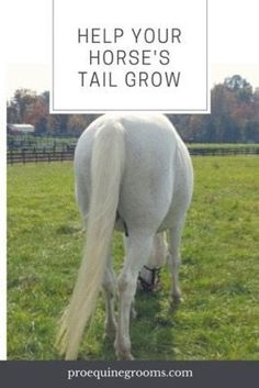 How to help your horse's tail grow! How to help your horse's tail grow a little longer. Growing out a short tail is a function of nutrition, genetics, care, and your horse's environment. Barrel Racing Saddles, Barrel Racing Horses, Horse Tail, My Horse, Horse Halters, Horse Saddles, Horse Braiding, Horse Care Tips, Horse Show Clothes