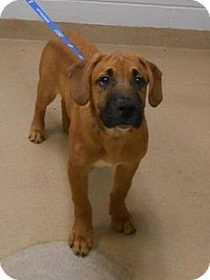 Wooster, OH - Boxer/Shepherd (Unknown Type) Mix. Meet Buster, a puppy for adoption. http://www.adoptapet.com/pet/18125950-wooster-ohio-boxer-mix