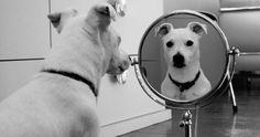 Jack Russell Terrier                                                                                                                                                      Plus