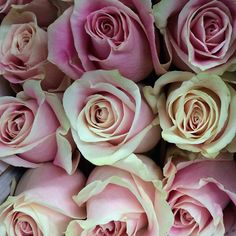Pink and Cream Rosita Vendela Roses