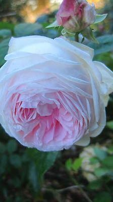 Clotilde Soupert Rose - Tons of pretty pink flowers on a very small bush that is constantly in bloom. Beautiful Roses, Pretty Flowers, Pretty In Pink, Pink Roses, Pink Flowers, David Austin Roses, Planting Roses, Cabbage Roses, Rose Photos