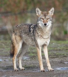 Facts about Coyotes from National Geographic. Shot: Lonely Coyote in Death Valley Beautiful Creatures, Animals Beautiful, Cute Animals, Wildlife Photography, Animal Photography, Coyotes, Coyote Drawing, Coyote Animal, Wolf Hybrid