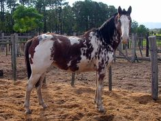 """This is a tremendously fabulous paint from Brazil. A pattern I've never seen in the US, but have seen before in Brazil, Argentina and Chile. They call it """"overo rosao"""" - red overo"""" would be the best translation (although there are wide variety of terms for bay and chestnut, depending on the exact shade) . The breed is a Crioulo (called Criollo in the Spanish speaking countries) - a ranch horse descended from Spanish/Barb stock, with mixing of other European imports long ago."""