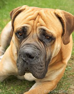 South African Boerboel.  I will have one someday.