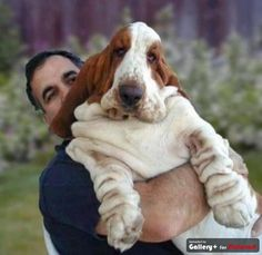 Best Basset Ever