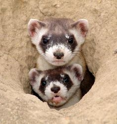 black footed ferret - Google Search http://www.pinterest.com/search/pins/?q=black%20foot%20ferret  http://www.pinterest.com/pin/468092954991801556/