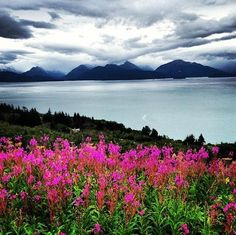 Taken from our friend Craig Kanalley's Facebook page as he vacations in Alaska ... Alaskan fireweed (state flower) with mountains in the background and Cooke Inlet which connects to the Pacific Ocean.