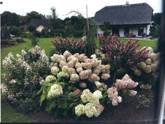 hydrangeas-just want that in my garden Hydrangea Paniculata, Hydrangeas, Backyard, Flowers, Plants, Gardening, Patio, Lawn And Garden
