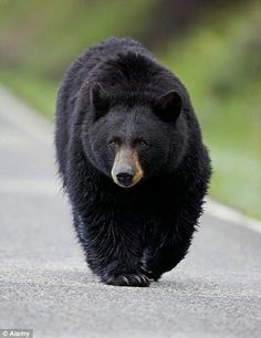 How to Survive a Bear Attack Nice looking Black Bear Sloth Bear, Panda Bear, Polar Bear, Bear Pictures, Animal Pictures, Animals Beautiful, Cute Animals, Wild Animals, Black Animals