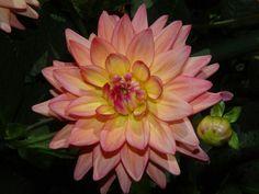 Dahlia pinnata - flower of Mexico