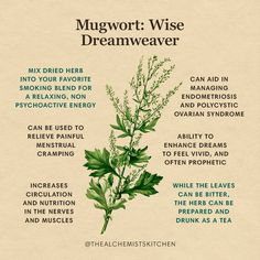 Mugwort (Artemisia vulgaris) is an herb of the world! Native to Europe and Asia, but with a naturalized domain widespread enough to include every continent, it grows wild and abundantly in sunny places with disturbed soil—no stranger to cracks in city sidewalks, fields, forests, coastal habitats, and gardens. Healing Herbs, Medicinal Plants, Natural Healing, Magic Herbs, Herbal Magic, Plant Magic, Natural Medicine, Herbal Medicine, Witch Herbs
