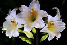 белая лилия , White Lily