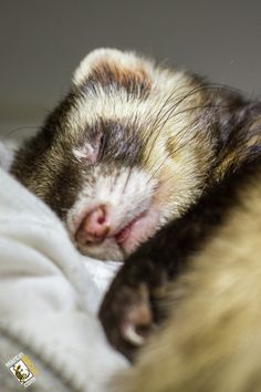 Ferrets love to sleep ~ but require daily interaction with you! Get along great with cats.