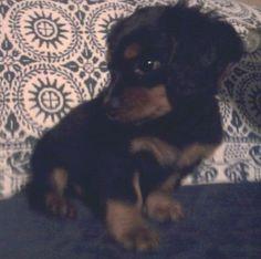 Dashalier  Dachshund / Cavalier King Charles Spaniel Hybrid Dogs