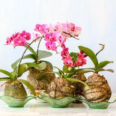 Learn the Japanese art of moss ball style gardening called kokedama. Read further for a step by step tutorial - Kokedama orchids group Orchids Garden, Garden Plants, Indoor Plants, House Plants, Air Plants, Indoor Orchids, Artificial Orchids, Peonies Garden, Flowers Garden