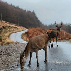 Deer at Glen Etive Glen Etive, Glen Coe, Scotland, Deer, Horses, Animals, Animales, Animaux, Animal