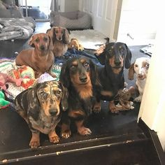 The owners of these sausagedogs are living the dream! Look how cute they are Credits: @onatahdachshunds Be sure to follow @sausagedoglove for more cute & awesome pics and tag your sausagedoglovers! To be featured use #Sausagedoglove on your pic! #sausagedoglove #sausagedogpuppy #dachshund #dachshundsofinstagram #dachshundoftheday #dachshundlove #dachshundappreciation #dachshundpuppy #doxie #doxielove #doxiefever #doxiesofinstagram #teckel #dackel #salchicha #bassotto #miniaturedachshund…