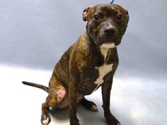 **PUPPY ALERT** - POOCHIE - #A1067142 - Super Urgent Brooklyn - SPAYED FEMALE BR BRINDLE/WHITE AM PIT BULL TER MIX, 10 Mos - OWNER SUR - EVALUATE, HOLD FOR ID Reason MOVE2PRIVA - Intake 03/09/16 Due Out 03/09/16 - ACTIVE, FRIENDLY