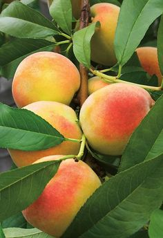 Peach Tree - pretty print for the kitchen Exotic Fruit, Tropical Fruits, Exotic Plants, Fruit Flowers, Fruit Trees, Trees To Plant, Green Fruit, Fruit And Veg, Different Kinds Of Fruits