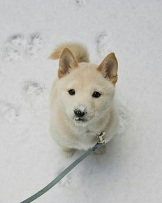 Japanese Dogs, Baby Animals, Animals And Pets, Cute Animals, Shiba Inu Puppies, Cute Puppies, Shiba Puppy, Cute Dogs, Dogs And Puppies