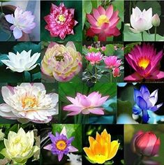 Beautiful additions to a water garden or fountain. 25 Dwarf Lotus Seeds Mixed Colors Aquatic Water Garden in...