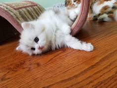 RagaMuffin Breeder of RagaMuffin kittens and RagaMuffin cats for sale. Tortie Kitten, Ragamuffin Kittens, Cute Cats And Kittens, Kittens Cutest, Calming Cat, Kitten Food, How To Cat, Fancy Cats, Cats For Sale