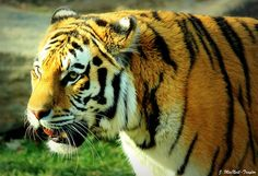 Philadelphia Zoo Tiger