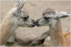 lama-kiss