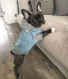 """""""Well... Help me UP!"""", Precious French Bulldog Puppy"""
