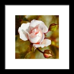 Vintage Rose Square Framed Print By Christina Rollo